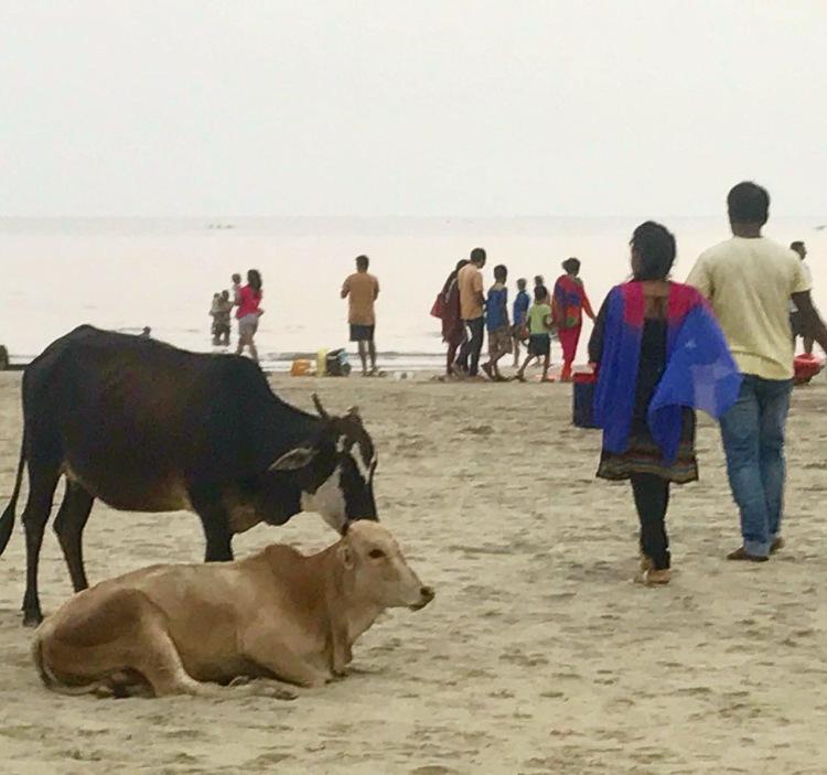 Cows on the beach Goa