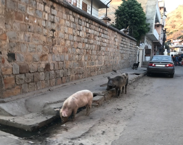 Wild pigs on the road India