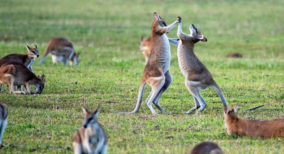 Standing kangaroos fighting on grass